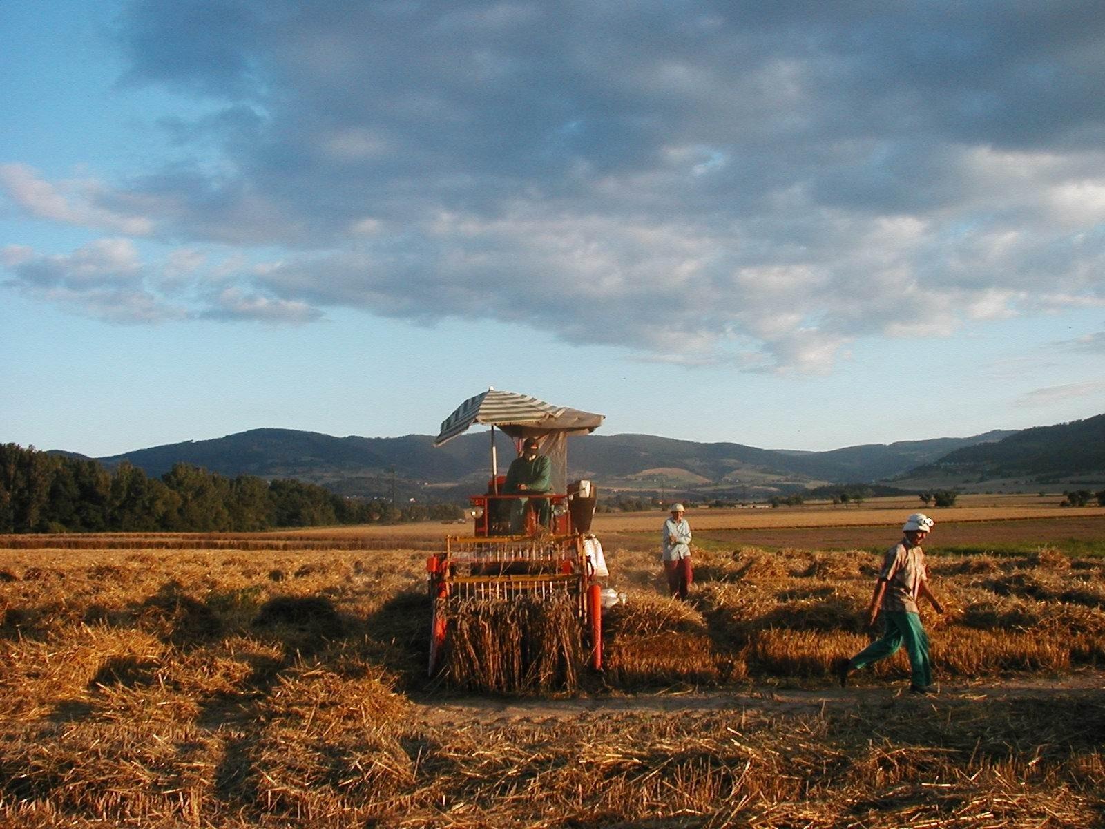 Zber pokusov ozimnej pšenice