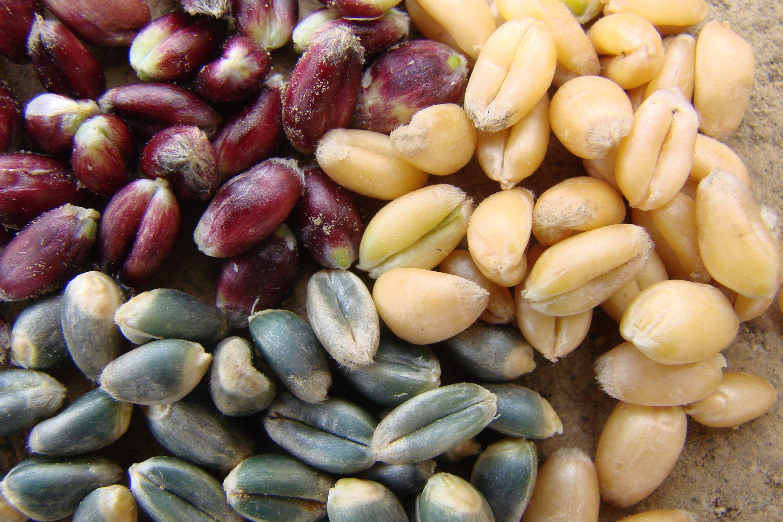 Harvest of winter wheat