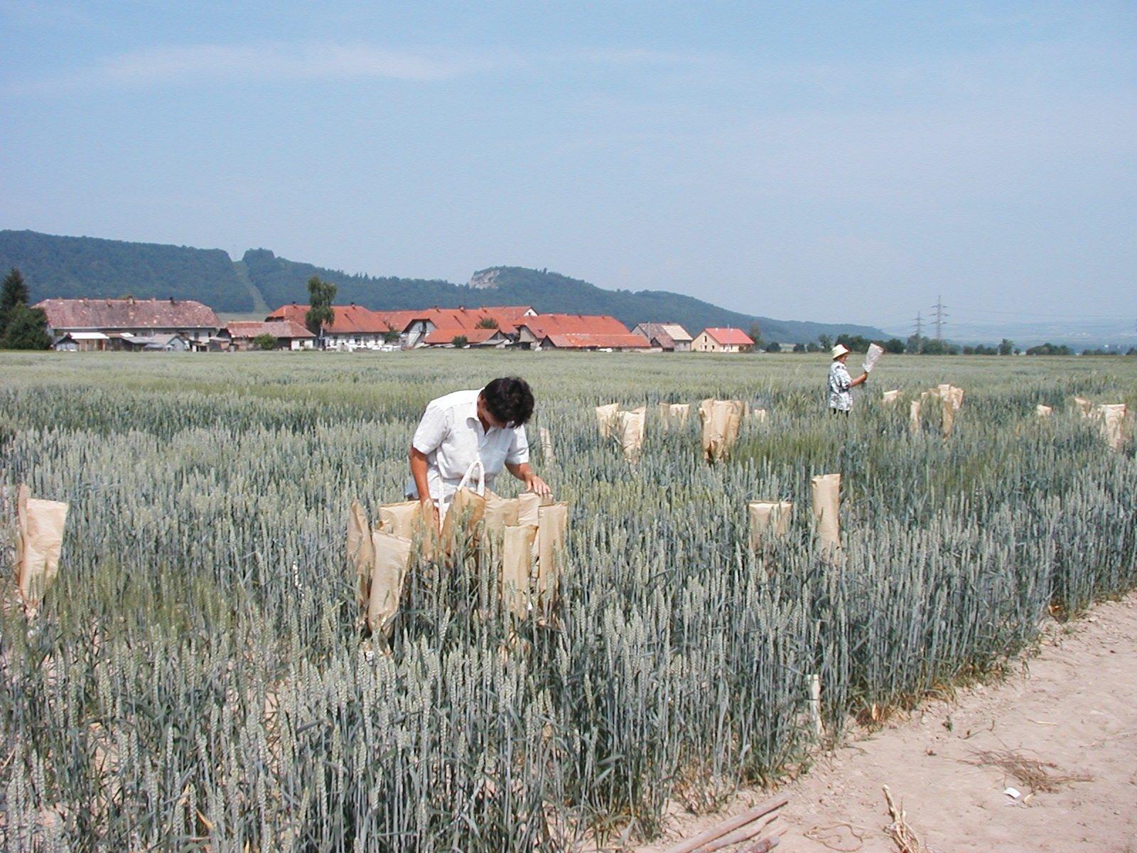 Novošľachtenie ozimnej pšenice